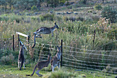 Eastern gray kangaroos jumping over a fance of a farm in the outback of Canberra Australia Capital Territory
