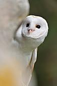 Barn Owl (Tyto alba) captive bird perech on old stone wall, Midlothian, Scotland, March 2012