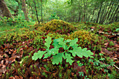 Sessile / Durmast Oak (Quercus petraea) seedling growing on woodland floor surrounded by mosses and leaf litter, Drippan wood, Glen Finglas, Woodland Trust Reserve, Loch Lomond and the Trossachs National Park, Scotland, June 2018