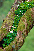 Wood Sorrel (Oxalis acetosella) growing on sessile oak tree, RSPB Inversnaid Nature Reserve, Loch Lomond and the Trossachs National Park,\nStirlingshire, Scotland, May 1993