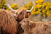Highland cow (Bos taurus), female cow with calf, Isle of Mull, Inner Hebrides, Scotland, April 2008
