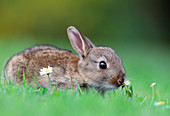 Rabbit (Oryctolagus cuniculus) juvenile rabbit that had strayed onto garden lawn, Berwickshire, Scotland, June 2003