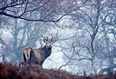 Red Deer (Cervus elaphus) stag in rainy weather in native birchwood, Mar Lodge Estate, Cairngorms National Park, Scotland, November 1985