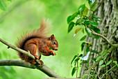 Red Squirrel (Sciurus vulgaris) in summer coat and in deciduous woodland, Berwickshire, Scotland, June 2011