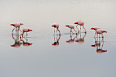 A group of Chilean flamingos (Phoenicopterus chilensis) are feeding in the water of the Laguna Nimez Bird Sanctuary in El Calafate, Argentina.