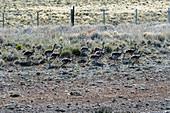 Darwin's rhea (Rhea pennata) chicks running along Route 40 near the village of Esperanza in Patagonia, Argentina.