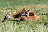 A mother guanaco (Lama guanicoe) with a baby (chulengo) in Torres del Paine National Park in southern Chile.