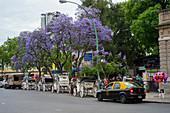 Blühende Jacaranda-Bäume im Botanischen Garten in Buenos Aires, Argentinien.