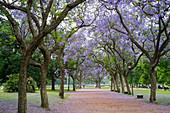 Jacaranda-Bäume in der Nähe der Plaza Italia in Buenos Aires, Argentinien.