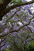 Blühende Jacaranda-Bäume in einem Park nahe der Plaza Italia in Buenos Aires, Argentinien.