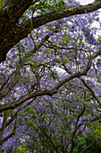 Flowering Jacaranda trees in a park near Plaza Italia in Buenos Aires, Argentina.