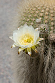 Close-up of Cardon cacti flower in the Andes Mountains near Purmamarca, Jujuy Province, Argentina.
