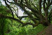 Mit Bromelien und Farnen bewachsene Bäume im neotropischen Yungas-Nebelwald in den Ausläufern der Anden bei Salta, Argentinien.