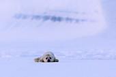 Baby ringed seal(pusa hispida), resting on the ice in Van Mijienfjorden, Spitsbergen, Svalbard\n