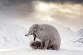 Arctic fox (Alopex lagopus) yawning, in the abandoned Russian settlement of Pyramiden, Billefjorden, Svalbard\n