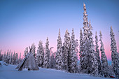 Lavvu (Lapland tent) and frozen trees under Arctic light, Lampivaara Hill, Luosto, Lapland, Finland