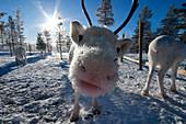 Funny puppy reindeer, (close up portrait), Saariselkä, Lapland, Finland