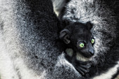 Indri (indri indri) cub held by mother in a primary forest in eastern Madagascar\n