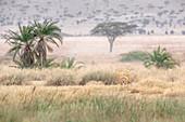 Male lion resting in high grass near Seronera river, Serengeti, Tanzania