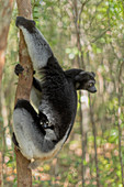 Indri (indri indri) in a primary forest in eastern Madagascar, africa\n\n