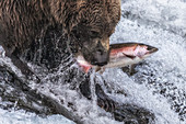 Brown bear fishing for silver salmon in Katmai National Park and Preserve, Alaska, USA