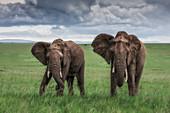 Elephants in the maasaimara, Kenya