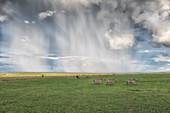 a herd of zebras in heavy rain crossing the Maasai mara plains, Kenya\n