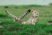 Cheetah (acinonyx jubatus) hunting in the maasai mara game reserve, kenya\n\n