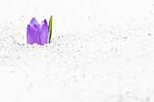 Close-up of isolated flower head of Crocus in snow, Juf, Avers, Viamala Region, canton of Graubunden, Switzerland