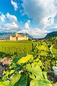Vine leaves in the vineyards surrounding Aigle Castle, canton of Vaud, Switzerland