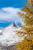 Yellow larch tree framing the Ober Gabelhorn peak in autumn, Zermatt, canton of Valais, Switzerland