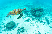 Sea turtle floating in water over the coral reef, Indian Ocean, Mauritius