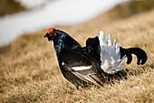 Park Orobie Valtellina,Lombardy,Italy. Lyrurus tetrix,black grouse, fagiano di monte