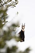 Stelvio National Park, Lombardy, Italy. Chamois Rupicapra rupicapra