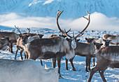 A reindeer herd in the mountain. Polar Urals, Yamalo-Nenets autonomous okrug, Siberia, Russia