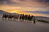 Bactrian caravan camels, Singing Sand Dunes at Khongoryn Els in the Gobi Desert, Mongolia, Mongolian, Asia, Asian.