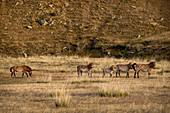 Przewalski Horses (Equus ferus przewalskii) at the meadow in autumn, Hustai National Park, Mongolia, Mongolian, Asia, Asian.