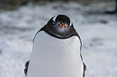 Gentoo penguin (Pygoscelis papua) at Marina Point on Galindez Island in the Argentine Islands, Antarctica.