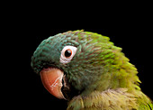 A parrot with grey and green feathers, bird head.