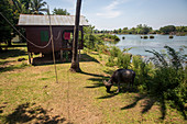 Bungalows and water buffalo on Don Det Island, Laos, Asia