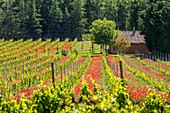 France, Vaucluse, regional natural reserve of Luberon, Roussillon, poppies (Papaver rhoeas) and vineyards
