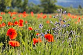 France, Vaucluse, regional natural reserve of Luberon, Viens, blue flowers of italian bugloss (Anchusa Italica) in a field of poppies (Papaver rhoeas)