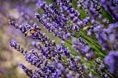 France, Alpes de Haute Provence, Redortiers, hummingbird hawk moth (Macroglossum stellatarum) during flight still gathers flowers of lavenders