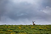 France, Lozere, Les Causses et les Cevennes, cultural landscape of the Mediterranean agro pastoralism, listed as World Heritage by UNESCO, National park of the Cevennes, listed as Reserve Biosphere by UNESCO, deer in the moor with brooms in the collar of Malpertus