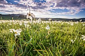 France, Lozere, Les Causses et les Cevennes, cultural landscape of the Mediterranean agro pastoralism, listed as World Heritage by UNESCO, National park of the Cevennes, listed as Reserve Biosphere by UNESCO, Mas Camargues, meadows place setting of Narcissus of the poet's narcissus (Narcissus poeticus)