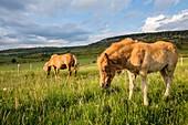 France, Lozere, Les Causses et les Cevennes, cultural landscape of the Mediterranean agro pastoralism, listed as World Heritage by UNESCO, National park of the Cevennes, listed as Reserve Biosphere by UNESCO, Mount Lozere, Cham de Bondons, mare and his foal