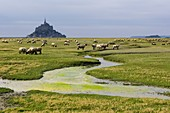 France, Manche, Mont Saint Michel bay listed as World Heritage by UNESCO, Mont Saint Michel, general view of Mont Saint Michel with sheeps at the foreground