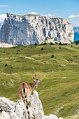 France, Isere, Vercors Regional Natural Park, National Nature Reserve of the Vercors Highlands, ibex and Mount (alt : 2087 m) in the background