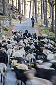 France, Haute-Corse, valley of Restonica, transhumance on foot of the herd of sheeps of the shepherd Mariani Antoine towards the sheepfold of Timozzo