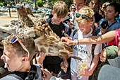 France, Charente Maritime, La Palmyre zoo, children feed the giraffes